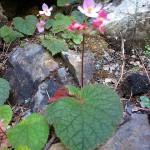 秋海棠科植物